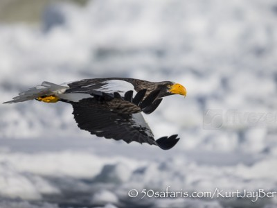 Japan, winter, wildlife, safari, photo safari, photo tour, photographic safari, photographic tour, photo workshop, wildlife photography, 50 safaris, 50 photographic safaris, kurt jay bertels, ice, sea, ocean, raptor, stellar sea eagle, flying