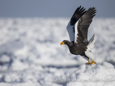 Japan, winter, wildlife, safari, photo safari, photo tour, photographic safari, photographic tour, photo workshop, wildlife photography, 50 safaris, 50 photographic safaris, kurt jay bertels, ice, sea, ocean, raptor, stellar sea eagle, take off, flying