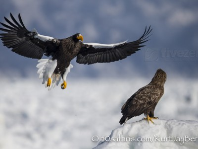 Japan, winter, wildlife, safari, photo safari, photo tour, photographic safari, photographic tour, photo workshop, wildlife photography, 50 safaris, 50 photographic safaris, kurt jay bertels, ice, sea, ocean, raptor, stellar sea eagle, white-tailed eagle, flying, landing, fighting