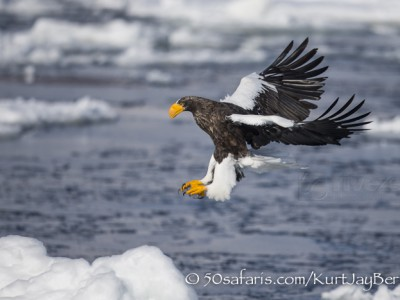 Japan, winter, wildlife, safari, photo safari, photo tour, photographic safari, photographic tour, photo workshop, wildlife photography, 50 safaris, 50 photographic safaris, kurt jay bertels, ice, sea, ocean, raptor, stellar sea eagle, landing, flying