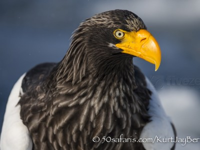 Japan, winter, wildlife, safari, photo safari, photo tour, photographic safari, photographic tour, photo workshop, wildlife photography, 50 safaris, 50 photographic safaris, kurt jay bertels, ice, sea, ocean, raptor, stellar sea eagle,
