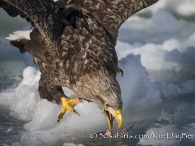 Japan, winter, wildlife, safari, photo safari, photo tour, photographic safari, photographic tour, photo workshop, wildlife photography, 50 safaris, 50 photographic safaris, kurt jay bertels, ice, sea, ocean, raptor, white-tailed eagle, hunting, eating, fish