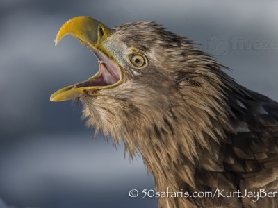 Japan, winter, wildlife, safari, photo safari, photo tour, photographic safari, photographic tour, photo workshop, wildlife photography, 50 safaris, 50 photographic safaris, kurt jay bertels, ice, sea, ocean, raptor, white-tailed eagle