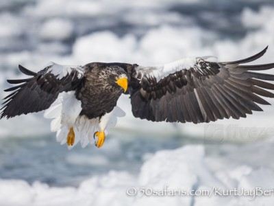 Japan, winter, wildlife, safari, photo safari, photo tour, photographic safari, photographic tour, photo workshop, wildlife photography, 50 safaris, 50 photographic safaris, kurt jay bertels, ice, sea, ocean, raptor, stellar sea eagle, flying, landing