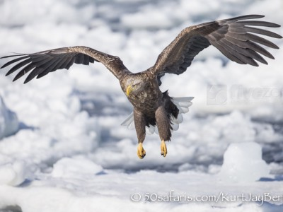 Japan, winter, wildlife, safari, photo safari, photo tour, photographic safari, photographic tour, photo workshop, wildlife photography, 50 safaris, 50 photographic safaris, kurt jay bertels, ice, sea, ocean, raptor, white-tailed eagle, landing, flying