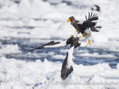 Japan, winter, wildlife, safari, photo safari, photo tour, photographic safari, photographic tour, photo workshop, wildlife photography, 50 safaris, 50 photographic safaris, kurt jay bertels, ice, sea, ocean, raptor, stellar sea eagle, fighting, eagles fighting