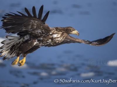 Japan, winter, wildlife, safari, photo safari, photo tour, photographic safari, photographic tour, photo workshop, wildlife photography, 50 safaris, 50 photographic safaris, kurt jay bertels, ice, sea, ocean, raptor, stellar sea eagle, juvenile, immature, flying
