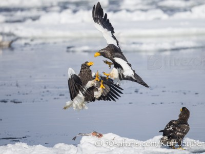Japan, winter, wildlife, safari, photo safari, photo tour, photographic safari, photographic tour, photo workshop, wildlife photography, 50 safaris, 50 photographic safaris, kurt jay bertels, ice, sea, ocean, raptor, stellar sea eagle, fighting, fight, eagles fighting