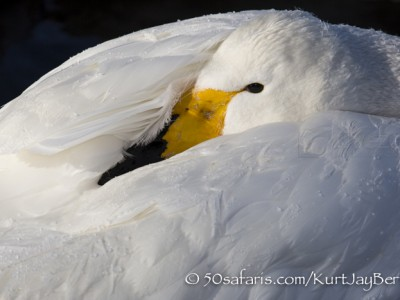 Japan, winter, wildlife, safari, photo safari, photo tour, photographic safari, photographic tour, photo workshop, wildlife photography, 50 safaris, 50 photographic safaris, kurt jay bertels, whooper swan, sleeping
