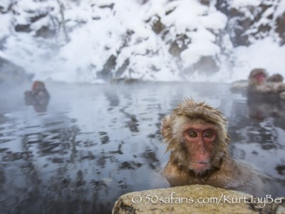 Japan, winter, wildlife, safari, photo safari, photo tour, photographic safari, photographic tour, photo workshop, wildlife photography, 50 safaris, 50 photographic safaris, kurt jay bertels, ice, snow monkey, japanese macaque, japanese monkey, swimming, relaxing, bathing, hot spring, baby