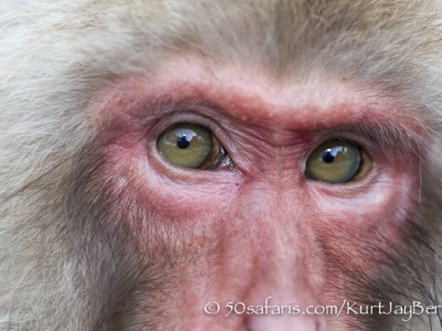 Japan, winter, wildlife, safari, photo safari, photo tour, photographic safari, photographic tour, photo workshop, wildlife photography, 50 safaris, 50 photographic safaris, kurt jay bertels, ice, snow monkey, japanese macaque, japanese monkey