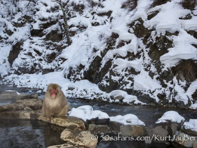 Japan, winter, wildlife, safari, photo safari, photo tour, photographic safari, photographic tour, photo workshop, wildlife photography, 50 safaris, 50 photographic safaris, kurt jay bertels, ice, snow monkey, japanese macaque, japanese monkey, swimming, hot spring, bathing, relaxing