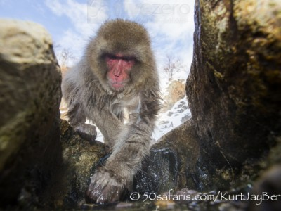 Japan, winter, wildlife, safari, photo safari, photo tour, photographic safari, photographic tour, photo workshop, wildlife photography, 50 safaris, 50 photographic safaris, kurt jay bertels, ice, snow monkey, japanese macaque, japanese monkey, swimming, hot spring, bathing, relaxing, baby, young