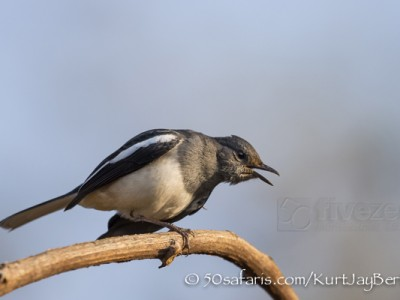 India, tiger, wildlife, safari, photo safari, photo tour, photographic safari, photographic tour, photo workshop, wildlife photography, 50 safaris, 50 photographic safaris, kurt jay bertels, oriental magpie robin, robin, bird
