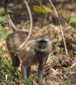 India, tiger, wildlife, safari, photo safari, photo tour, photographic safari, photographic tour, photo workshop, wildlife photography, 50 safaris, 50 photographic safaris, kurt jay bertels, langur, monkey