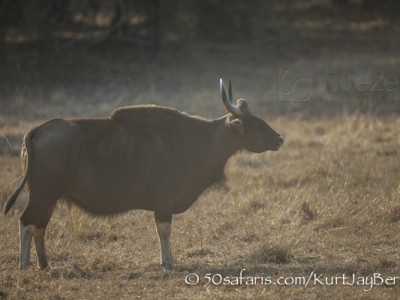 India, tiger, wildlife, safari, photo safari, photo tour, photographic safari, photographic tour, photo workshop, wildlife photography, 50 safaris, 50 photographic safaris, kurt jay bertels, indian gaur, indian bison, buffalo