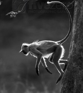 India, tiger, wildlife, safari, photo safari, photo tour, photographic safari, photographic tour, photo workshop, wildlife photography, 50 safaris, 50 photographic safaris, kurt jay bertels, langur, monkey, running, climbing