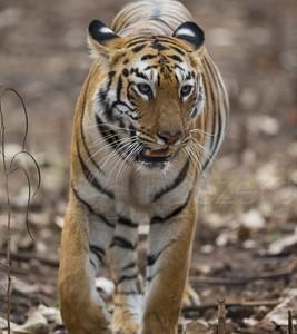 India, tiger, wildlife, safari, photo safari, photo tour, photographic safari, photographic tour, photo workshop, wildlife photography, 50 safaris, 50 photographic safaris, kurt jay bertels, female, tigress, approaching