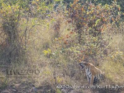 India, tiger, wildlife, safari, photo safari, photo tour, photographic safari, photographic tour, photo workshop, wildlife photography, 50 safaris, 50 photographic safaris, kurt jay bertels, female, tigress, approaching, tiger cub, cub, baby