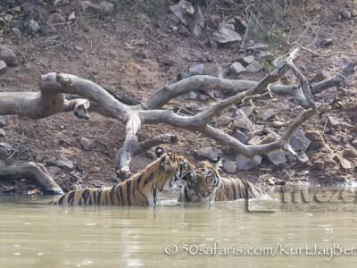 India, tiger, wildlife, safari, photo safari, photo tour, photographic safari, photographic tour, photo workshop, wildlife photography, 50 safaris, 50 photographic safaris, kurt jay bertels, female, tigress, approaching, tiger cub, cubs, baby