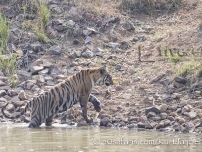 India, tiger, wildlife, safari, photo safari, photo tour, photographic safari, photographic tour, photo workshop, wildlife photography, 50 safaris, 50 photographic safaris, kurt jay bertels, female, tigress, approaching, tiger cub, cub, baby, water