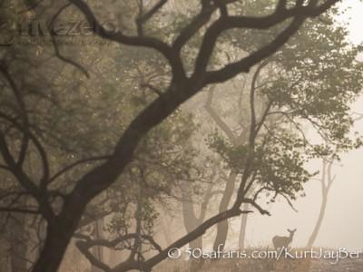 India, tiger, wildlife, safari, photo safari, photo tour, photographic safari, photographic tour, photo workshop, wildlife photography, 50 safaris, 50 photographic safaris, kurt jay bertels, spotted deer, chital deer, mist, moody