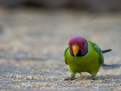 India, tiger, wildlife, safari, photo safari, photo tour, photographic safari, photographic tour, photo workshop, wildlife photography, 50 safaris, 50 photographic safaris, kurt jay bertels, parakeet, plum headed parakeet