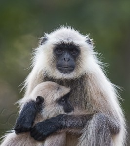 India, tiger, wildlife, safari, photo safari, photo tour, photographic safari, photographic tour, photo workshop, wildlife photography, 50 safaris, 50 photographic safaris, kurt jay bertels, langur, monkey, indian monkey