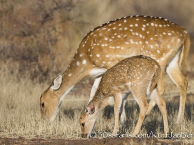 India, tiger, wildlife, safari, photo safari, photo tour, photographic safari, photographic tour, photo workshop, wildlife photography, 50 safaris, 50 photographic safaris, kurt jay bertels, spotted deer, baby, mother, young, calf