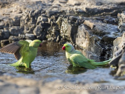 India, tiger, wildlife, safari, photo safari, photo tour, photographic safari, photographic tour, photo workshop, wildlife photography, 50 safaris, 50 photographic safaris, kurt jay bertels, rose ringed parakeet, parakeet, bathing, swimming, water