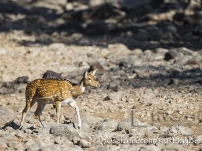 India, tiger, wildlife, safari, photo safari, photo tour, photographic safari, photographic tour, photo workshop, wildlife photography, 50 safaris, 50 photographic safaris, kurt jay bertels, spotted deer, female, ewe