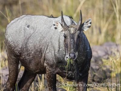 India, tiger, wildlife, safari, photo safari, photo tour, photographic safari, photographic tour, photo workshop, wildlife photography, 50 safaris, 50 photographic safaris, kurt jay bertels, nilgai, blue bull, antelope
