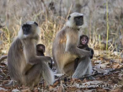 India, tiger, wildlife, safari, photo safari, photo tour, photographic safari, photographic tour, photo workshop, wildlife photography, 50 safaris, 50 photographic safaris, kurt jay bertels, langur, monkey, mother, baby