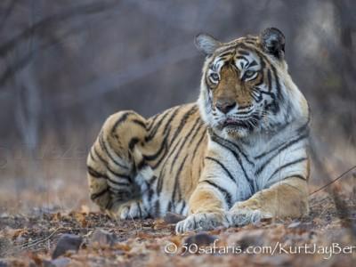 India, tiger, wildlife, safari, photo safari, photo tour, photographic safari, photographic tour, photo workshop, wildlife photography, 50 safaris, 50 photographic safaris, kurt jay bertels, tiger, machili, oldest living, tigress, predator