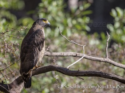India, tiger, wildlife, safari, photo safari, photo tour, photographic safari, photographic tour, photo workshop, wildlife photography, 50 safaris, 50 photographic safaris, kurt jay bertels, crested serpent eagle, eagle