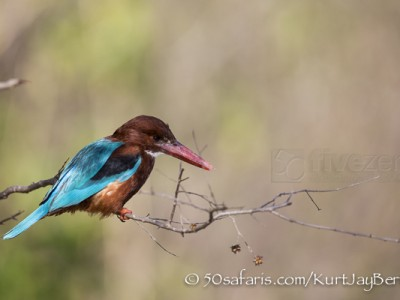 India, tiger, wildlife, safari, photo safari, photo tour, photographic safari, photographic tour, photo workshop, wildlife photography, 50 safaris, 50 photographic safaris, kurt jay bertels, white throated kingfisher, white fronted kingfisher