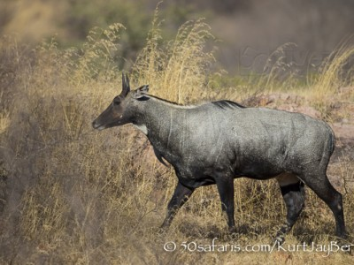 India, tiger, wildlife, safari, photo safari, photo tour, photographic safari, photographic tour, photo workshop, wildlife photography, 50 safaris, 50 photographic safaris, kurt jay bertels, blue bull, nilgai, male