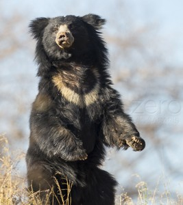 India, tiger, wildlife, safari, photo safari, photo tour, photographic safari, photographic tour, photo workshop, wildlife photography, 50 safaris, 50 photographic safaris, kurt jay bertels, sloth bear, bear, black bear, rare, amazing, standing, aggressive