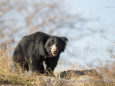 India, tiger, wildlife, safari, photo safari, photo tour, photographic safari, photographic tour, photo workshop, wildlife photography, 50 safaris, 50 photographic safaris, kurt jay bertels, sloth bear, bear, black bear, rare, amazing