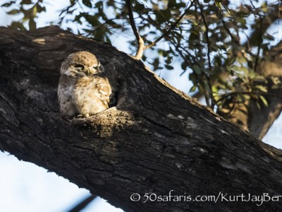 India, tiger, wildlife, safari, photo safari, photo tour, photographic safari, photographic tour, photo workshop, wildlife photography, 50 safaris, 50 photographic safaris, kurt jay bertels, indian spotted owlet, owl, small, smallest, cute
