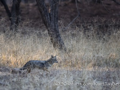 India, tiger, wildlife, safari, photo safari, photo tour, photographic safari, photographic tour, photo workshop, wildlife photography, 50 safaris, 50 photographic safaris, kurt jay bertels, golden jackal, jackal, scavenger
