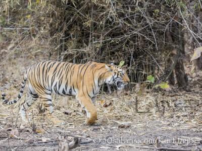 India, tiger, wildlife, safari, photo safari, photo tour, photographic safari, photographic tour, photo workshop, wildlife photography, 50 safaris, 50 photographic safaris, kurt jay bertels, female, tigress, approaching, tiger