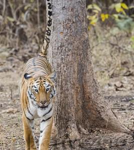 India, tiger, wildlife, safari, photo safari, photo tour, photographic safari, photographic tour, photo workshop, wildlife photography, 50 safaris, 50 photographic safaris, kurt jay bertels, female, tigress, approaching, tiger, scent marking