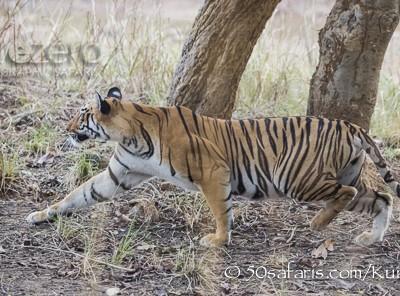India, tiger, wildlife, safari, photo safari, photo tour, photographic safari, photographic tour, photo workshop, wildlife photography, 50 safaris, 50 photographic safaris, kurt jay bertels, female, tigress, approaching, tiger, hunting, stalking, crouching tiger