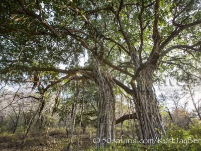 India, tiger, wildlife, safari, photo safari, photo tour, photographic safari, photographic tour, photo workshop, wildlife photography, 50 safaris, 50 photographic safaris, kurt jay bertels, banion tree, roots, massive