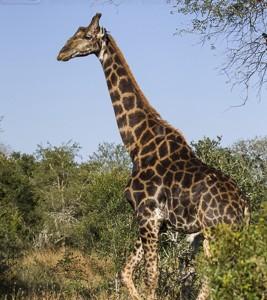 South Africa, wildlife, safari, photo safari, photo tour, photographic safari, photographic tour, photo workshop, wildlife photography, 50 safaris, 50 photographic safaris, kurt jay bertels, male, giraffe
