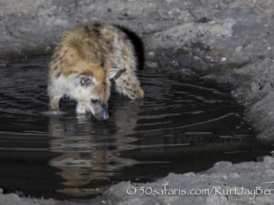 South Africa, wildlife, safari, photo safari, photo tour, photographic safari, photographic tour, photo workshop, wildlife photography, 50 safaris, 50 photographic safaris, kurt jay bertels, spotted hyaena, cub pup drinking