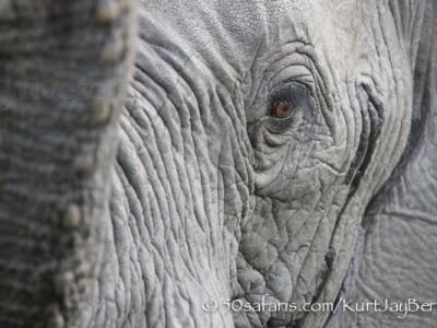 South Africa, wildlife, safari, photo safari, photo tour, photographic safari, photographic tour, photo workshop, wildlife photography, 50 safaris, 50 photographic safaris, kurt jay bertels, elephant, sniffing, watchful
