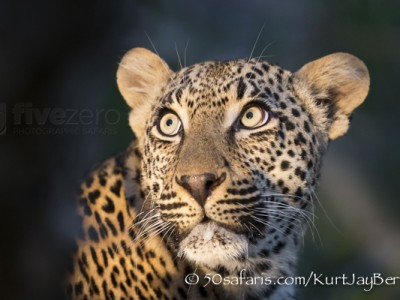 South Africa, wildlife, safari, photo safari, photo tour, photographic safari, photographic tour, photo workshop, wildlife photography, 50 safaris, 50 photographic safaris, kurt jay bertels, leopard, male, fight