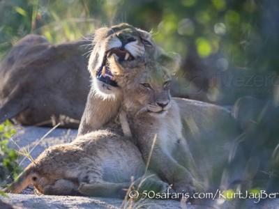 South Africa, wildlife, safari, photo safari, photo tour, photographic safari, photographic tour, photo workshop, wildlife photography, 50 safaris, 50 photographic safaris, kurt jay bertels, lion, cub, snarling, fighting, playing, cub